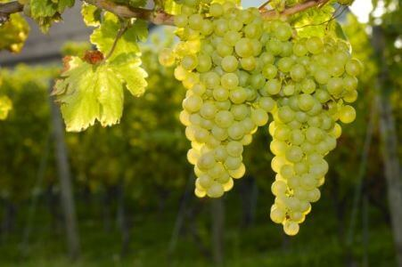 Теилим 80 — виноградная лоза или кара